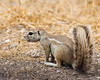 Cape Ground Squirrel - (Namibia Xerus inauris)
