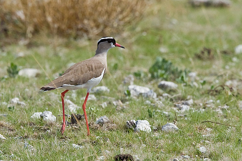 Tsuemed - Crowned Lapwing (Plover)