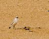 Swakopmund - Tractrac Chat (Cercomela tractrac)