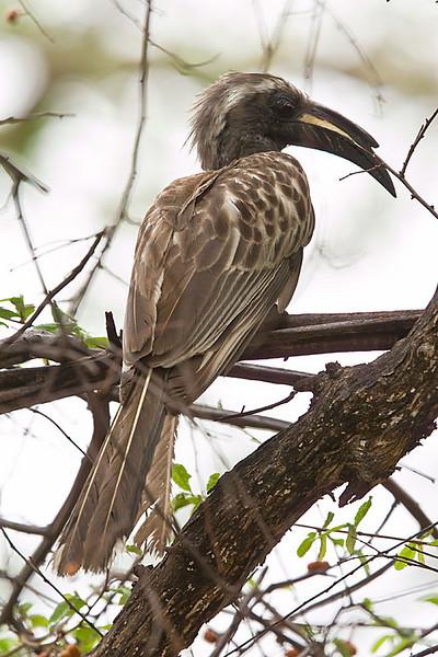 Waterberg - African Grey Hornbill
