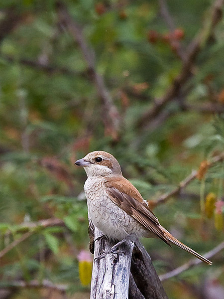 Waterberg - Common Fiscal (Fiscal Shrike) juv (?)