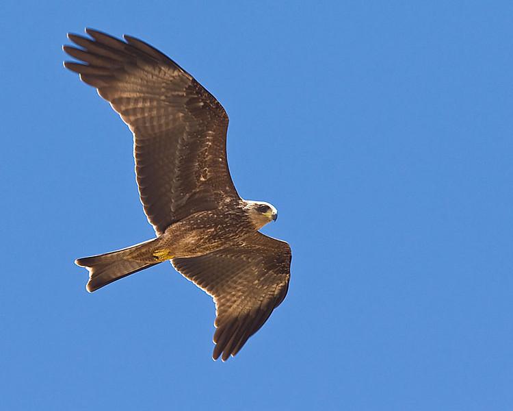 Okahandja - Yellow-billed Kite