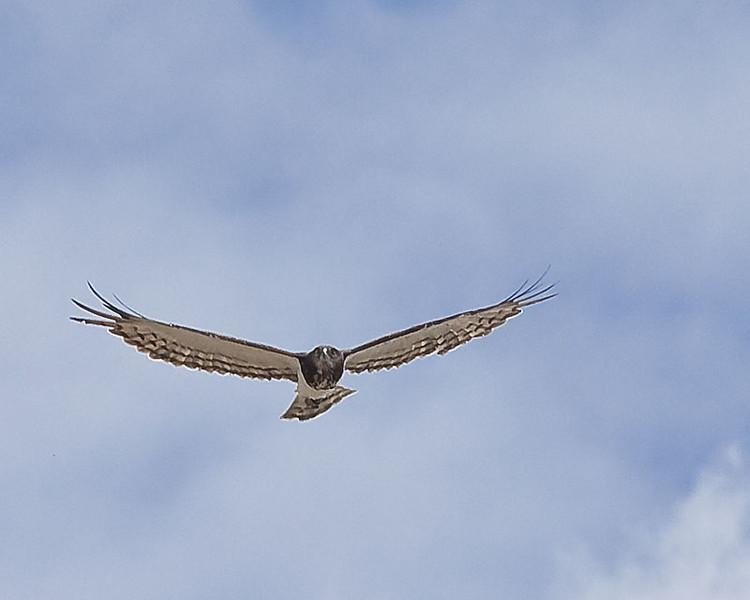 Halali - Black-chested (Black-breasted) Snake-eagle