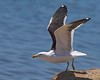 Walvis Bay (Salt Works) - Cape (Kelp) Gull