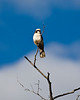 Tsuemed - Southern White-crowned Shrike