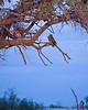 Okaukuejo (waterhole at night) - Verreaux's (Giant) Eagle-owl