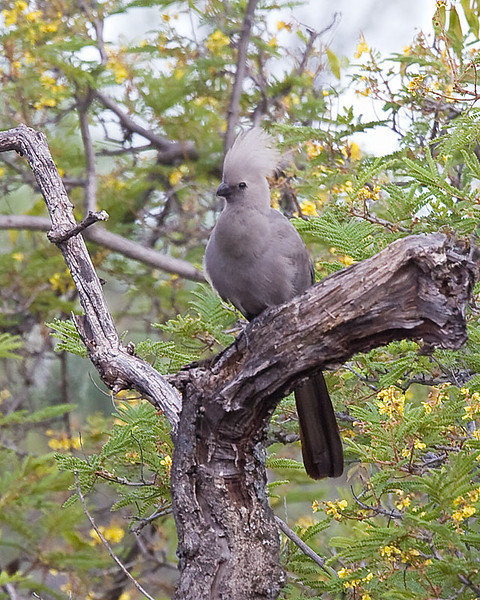 Waterberg - Grey Go-away-bird (Lourie)
