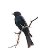 Waterberg - Fork-tailed Drongo