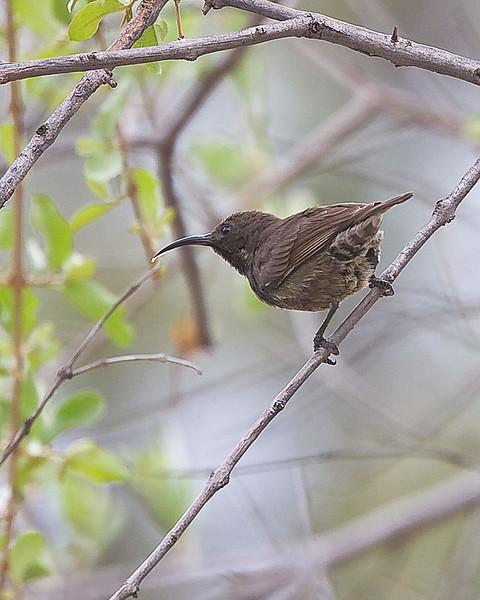 Waterberg - Marico Sunbird (Cinnyris mariquensis) f