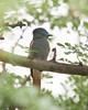 Waterberg - African Paradise-flycatcher (top half!)