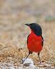 Okaukuejo (in camp) - Crimson-breasted Shrike