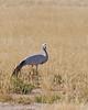 Halali - Blue Crane