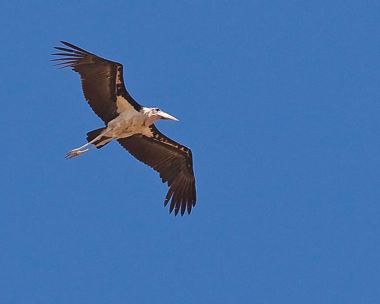Okahandja - Marabou Stork