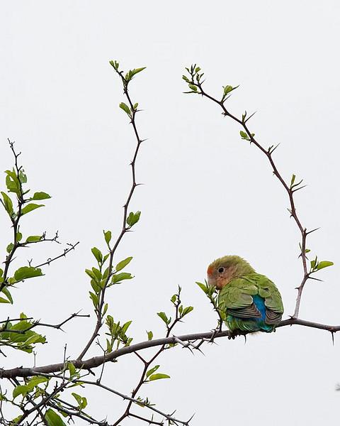 Waterberg - Rosy-faced Lovebird