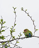 Waterberg - Rosy-faced Lovebird