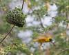 Waterberg - Masked Weaver
