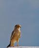 Halali - Lesser Kestrel (Falco rupicoloides)