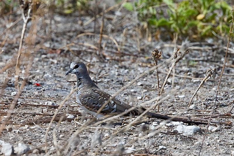 Tsuemed - Namaqua Dove