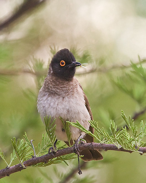 Waterberg - African Red-eyed Bulbul