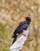 Tsuemed - Violet Wood-hoopoe
