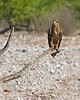 Halali - Tawny Eagle (Aquila rapax)
