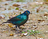 Tsuemed - Cape Glossy Starling