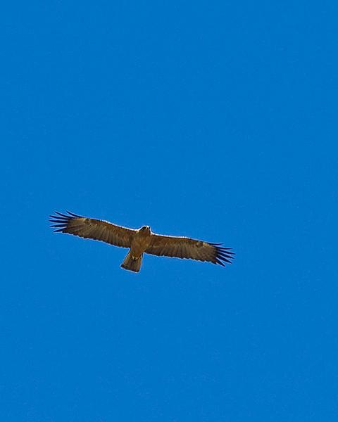 Tsuemed - ? Walberg's Eagle (pale, dark juv)?