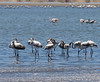 Walvis Bay (Salt Works) - Greater Flamingo