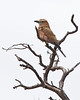 Waterberg - Purple Roller