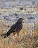 Halali - Greater Kestrel (Falco rupicoloides)