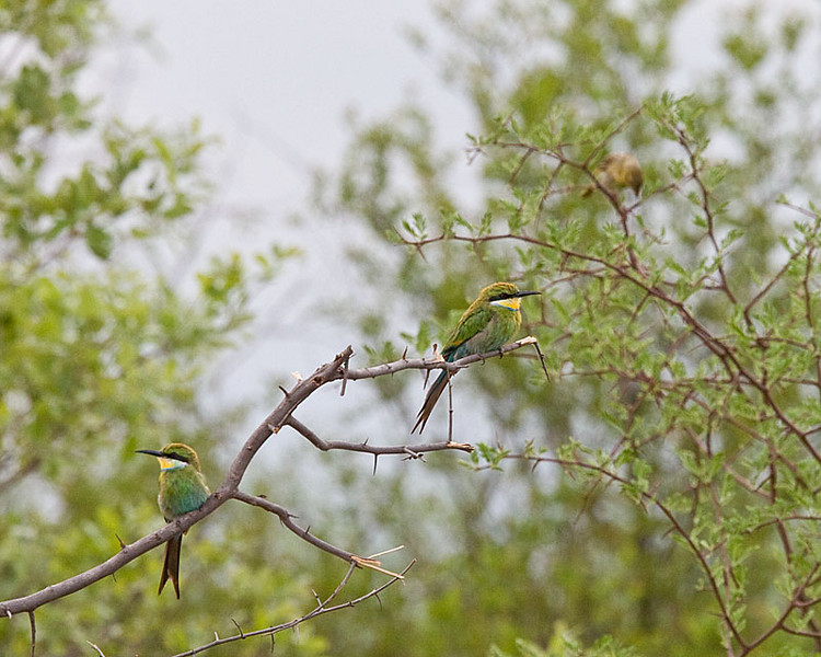 Waterberg - Swallow-tailed Bee-eater