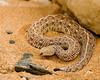 Peringuey's Viper (Bitis peringueyi)