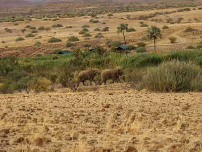 The desert elephants near our camp.