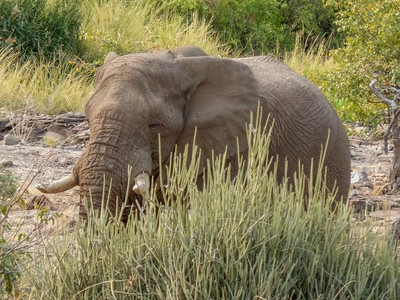 A desert elephant near our camp.  Desert elephants have adapted to their dry, semi-desert environment by having a smaller body mass with proportionally longer legs and seemingly larger feet than other elephants. This  allows them to cross miles of sand dunes to reach water. They survive by eating moisture-laden vegetation growing in riverbeds. They can go several days without drinking water.
