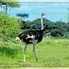 Male Common Ostrich