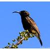 Male Dusky Sunbird