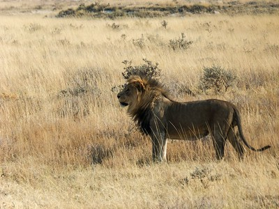 A male lion ensures that his territory is safe for his family.  We watched this lion parole for many minutes.