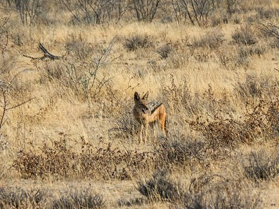 Black backed jackal.