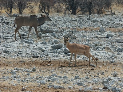 Kudu and impala hanging out at the water hole