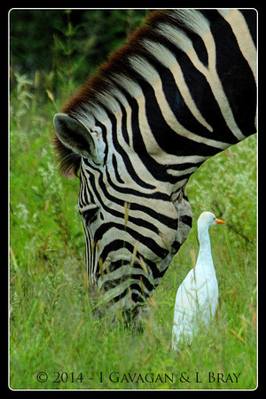 Burchell's Zebra & Cattle Egret