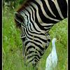 Burchell's Zebra & Cattle Egret