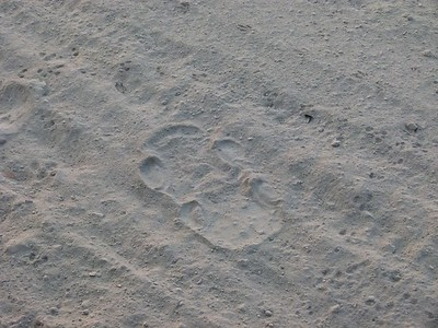 Rhino footprints.