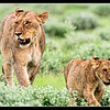 Young Lion & Lioness