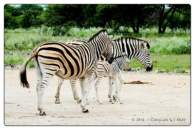 Burchell's Zebra Family