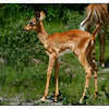 Juvenile Black-faced Impala