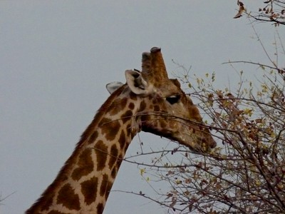Giraffe browsing for breakfast near sunrise
