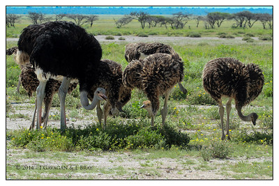 Male Common Ostrich & Juveniles