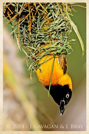 Male Lesser Masked Weaver
