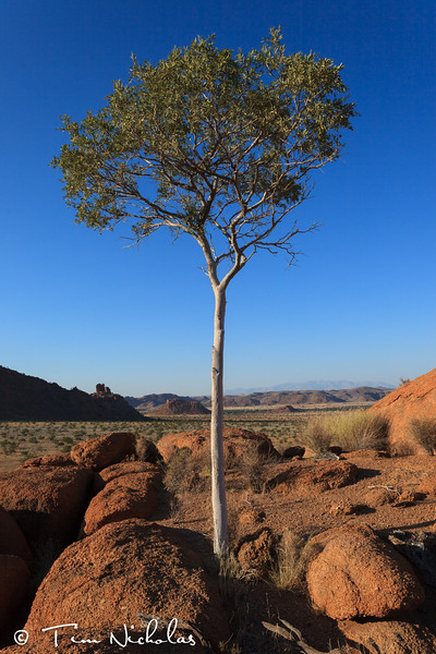 Mowani tree at sunrise