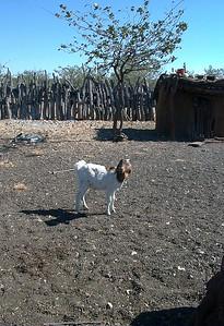 himba-goat 2 562